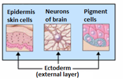 Ectoderm - Wikipedia