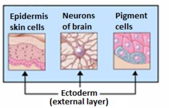Surface ectoderm - Organs derived from ectoderm.