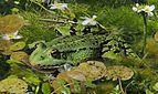 Edible frog (Pelophylax esculentus).jpg