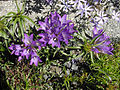 Edraianthus graminifolius 1.JPG