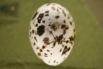 Lagopus - egg of a Lagopus