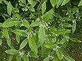 Elaeagnus multiflora 2016-05-17 0210.jpg