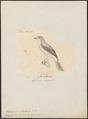 Elainia brevirostris - 1700-1880 - Print - Iconographia Zoologica - Special Collections University of Amsterdam - UBA01 IZ16500303.tif