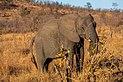 Elefante africano de sabana (Loxodonta africana), parque nacional Kruger, Sudáfrica, 2018-07-25, DD 16.jpg