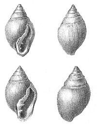 Ellobium pyramidale-2.jpg