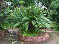 Encephalartos senticosus, Manie van der Schijff BT.jpg