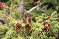 Engelmann Spruce cones RMNP.jpg