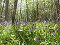 English Bluebells (155563482).jpg