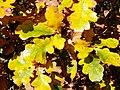 English Oak (Quercus robur) autumn leaves (8251251279).jpg