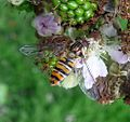 Episyrphus balteatus. Syrphidae - Flickr - gailhampshire.jpg