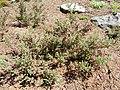 Erica haematocodon bush.JPG