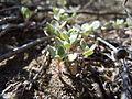 Eriognonum ovalifolium? (5391670568).jpg