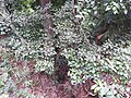 Erythropalum acuminatum-3-chemungi-kerala-India.jpg