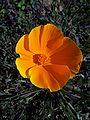 Eschscholzia californica-1.jpg