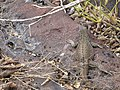 Espanola - Hood - Galapagos Islands - Ecuador (4871072733).jpg