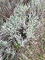 Espigol LavandulaAngustifolia.jpg