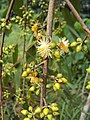 Eucalyptus camaldulensis 14.JPG