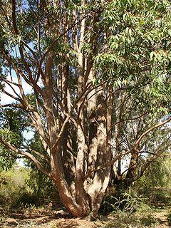 <i>Eucalyptus cloeziana</i> Species of eucalyptus