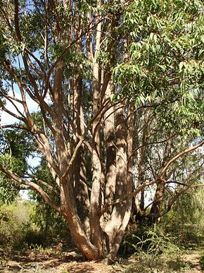 Description de l'image Eucalyptus cloeziana.jpg.
