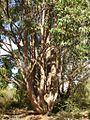 Eucalyptus cloeziana.jpg