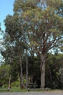 <i>Eucalyptus longifolia</i> species of plant