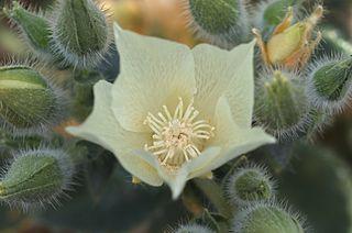 <i>Eucnide urens</i> species of plant