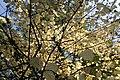 Euonymus latifolius kz3.jpg