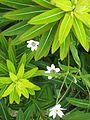 Euphorbia Amjillassa, and Anemone rivularis - Flickr - peganum (1).jpg