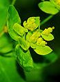 Euphorbia epithymoides 01.jpg