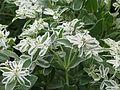 Euphorbia marginata Icicle (9554438362).jpg