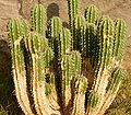Euphorbia officinarum ies.jpg