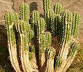 Euphorbia officinarum ies.jpg