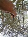 Euphorbia tirucalli (YS) (7).jpg