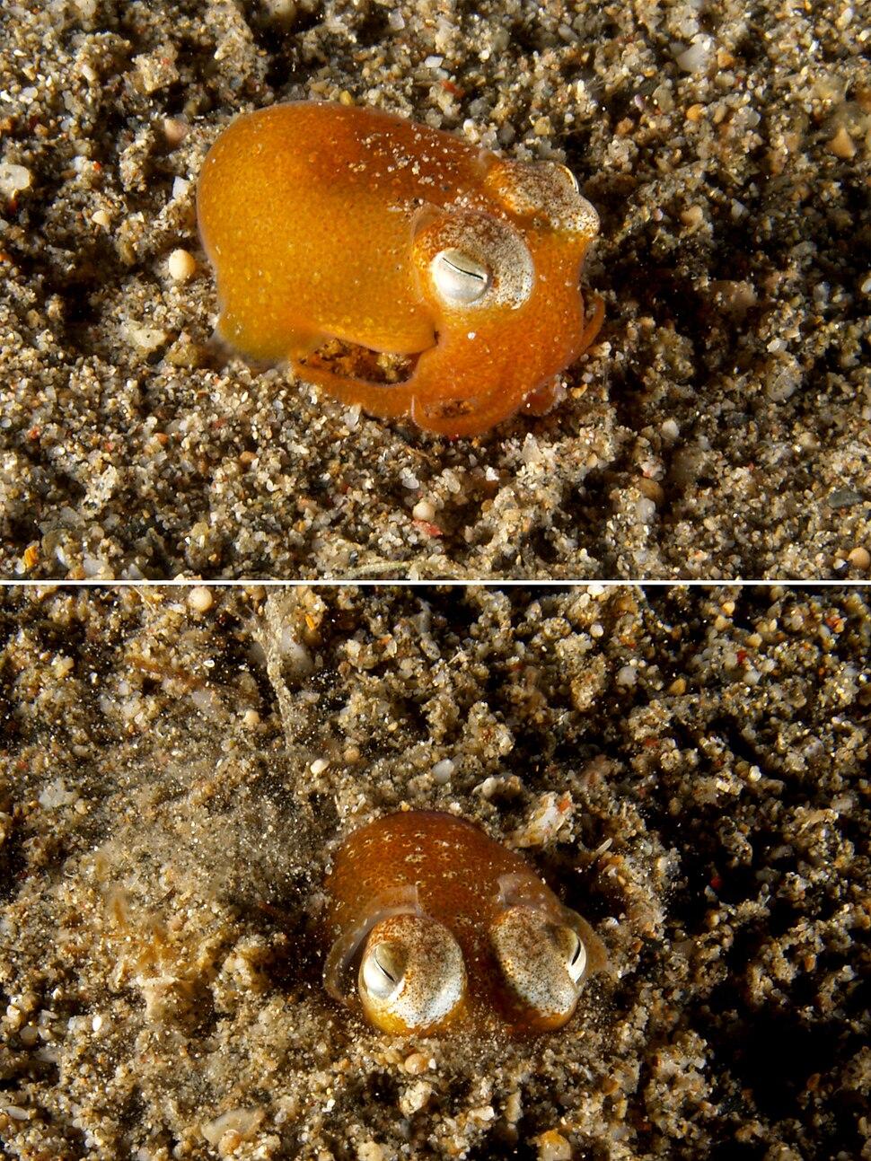 Euprymna scolopes (Bobtail squid) behavior