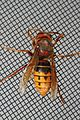 European Hornet - Vespa crabro, Woodbridge, Virginia.jpg