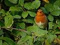 European Robin on a Bramble Bush.jpg