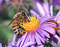 European honey bee extracts nectar.jpg