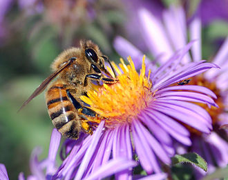 Ecology - Image: European honey bee extracts nectar