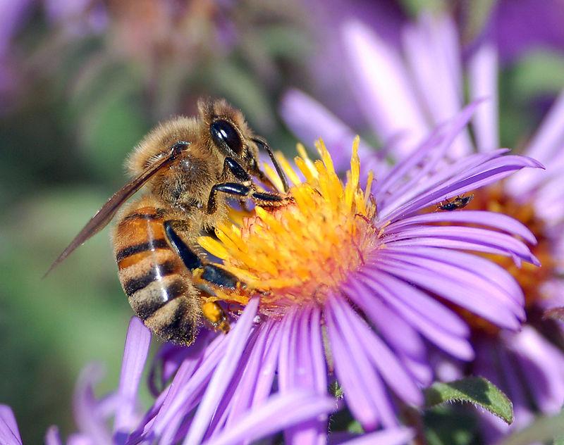 image of European honey bee extracts nectar
