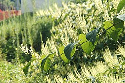 Expansion of Japanese Knotweed (6053155927)