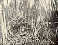 FMIB 41929 Coot (Or Mud-Hen) and Nest.jpeg