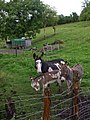 Family of donkeys, Ardnagassan - geograph.org.uk - 908308.jpg
