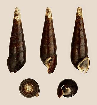 Faunus ater - A shell of Faunus ater