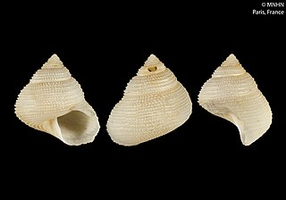 <i>Fautrix</i> Genus of gastropods