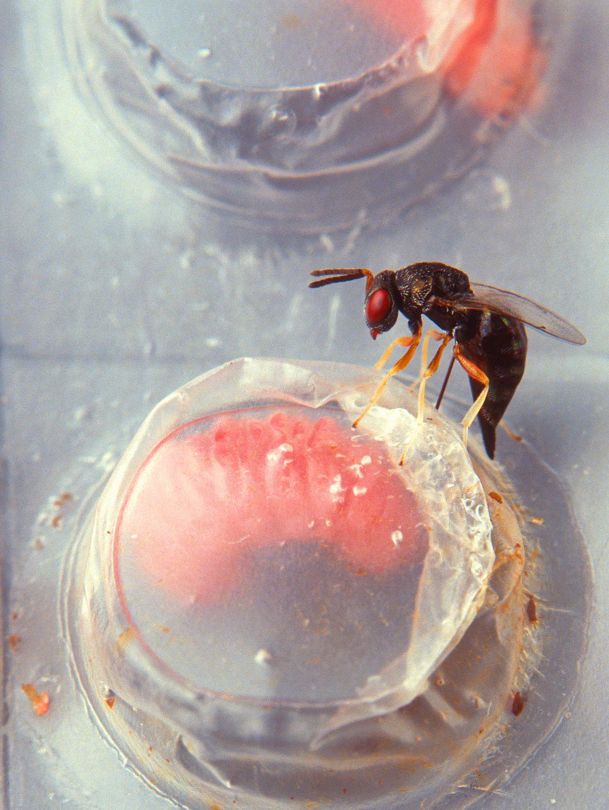 les principales parasites d origines alimentaire torta paraziták