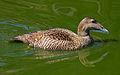 Female Eider Duck (8678654876).jpg