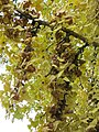 Female Ginkgo biloba (Rentilly) fruits1.jpg