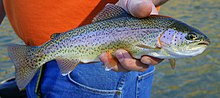 Photo of hand holding adult female rainbow trout