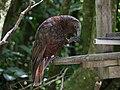 Female kākā eating a food pellet at a feeder station.jpg