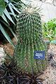 Ferocactus wislizeni - Krohn Conservatory - DSC03533.JPG